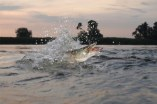 14408782-jumping-out-from-water-long-pike
