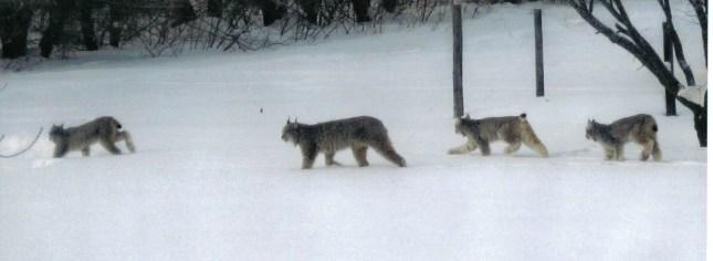 Canada Lynx_family