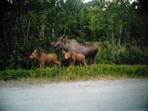 moose-down-the-road-from