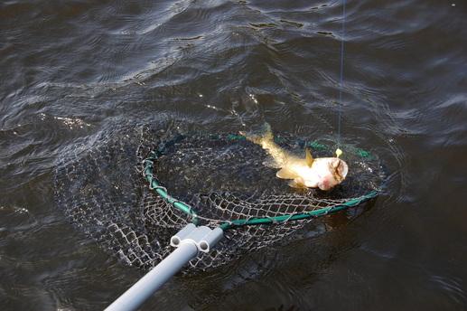 netting walleye