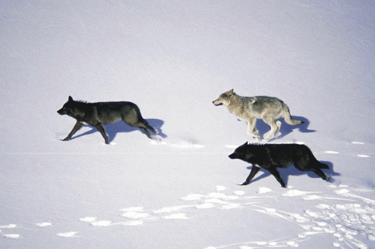 Running Wolf Images Stock Photos amp Vectors  Shutterstock