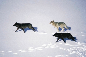 Paquets_running wolves
