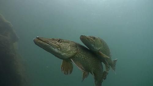 pike spawning 3