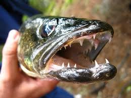 walleye teeth 2