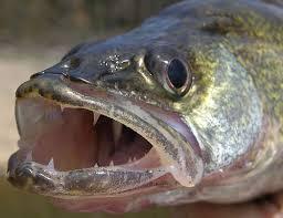 walleye teeth