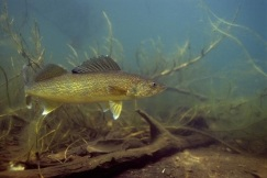 WalleyeUnderwater