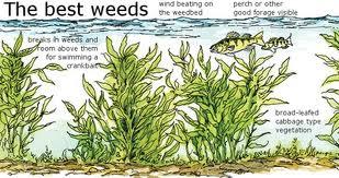 weed diagram