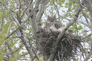 31 Great Horned Owl_artuso