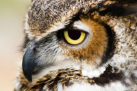 great-horned-owl-closeup2