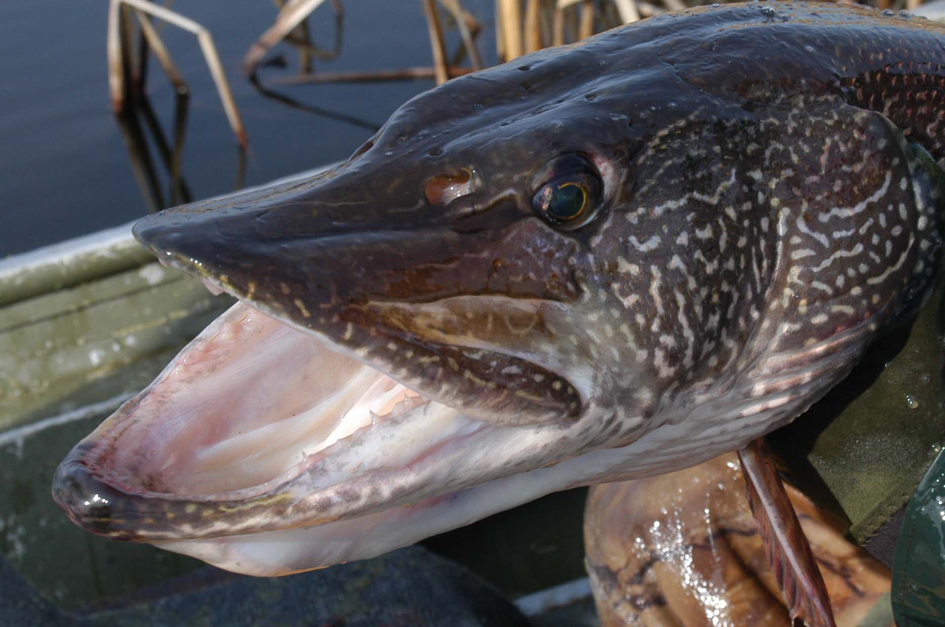Deep water tactics for monster pike wawang lake resort for Northern pike fishing