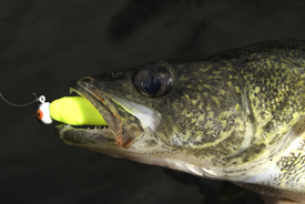 RiverWalleye0916_GulpGrub