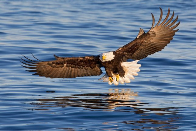 681_1bald_eagle_coming_in_the_catch_fish_wings_wide_e07g1576_kachemak_bay__homer__ak