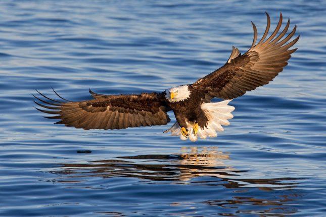 681_1bald_eagle_coming_in_the_catch_fish_wings_wide_e07g1576_kachemak_bay__homer__ak